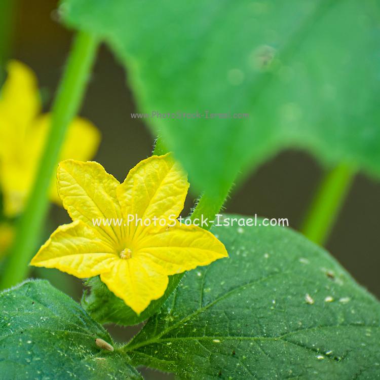 Yellow Cucumber blossom in an urban vegetable garden