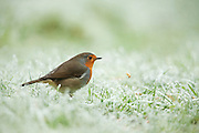 European robin (Erithacus rubecula), feeding on mealworms on grass in an urban garden, following a severe frost. The mealworm can be seen in midair, after  the robin tried to feed. Hoarfrost and a light snow covering is visible on the grass.