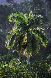 Backlit shot of palm tree near to Soroa; Cuba,