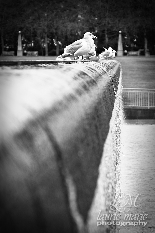 Seagulls on the edge of Bellevue, WA Downtown Park waterfall - bw