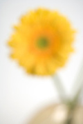blurry out of focus yellow gerbera flower
