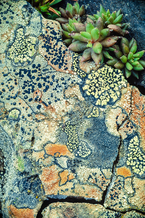Rock with lichens and succulant sedum leaves, Deer Park, Okympic National Park, Washinton, USA
