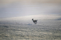 © Licensed to London News Pictures. 04/11/2020. London, UK. A young deer runs through a frost covered landscape at sunrise in Richmond Park, south west London on a cold Autumn morning. Photo credit: Ben Cawthra/LNP