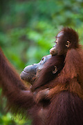 A juvenile orangutan (Pongo pygmaeus) lays his head tenderly on top of his mother's head as she looks up into a tree, Borneo, Indonesia