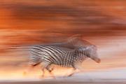 A Burchell's zebra (Equus quagga) in motion, running at sunset, Botswana, Africa