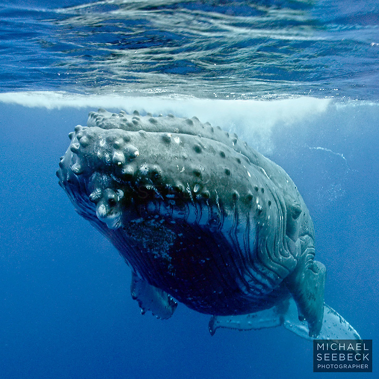 Barnacles are visible on this humpback whale as it lies stationary in oceanic waters off Niue.<br /> <br /> Code: SONU0001