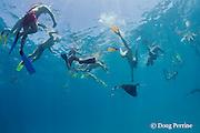 snorkeler tries to touch reef manta ray, Manta alfredi (formerly Manta birostris ), feeding on plankton, Hanifaru Bay, Hanifaru Lagoon, Baa Atoll, Maldives ( Indian Ocean )