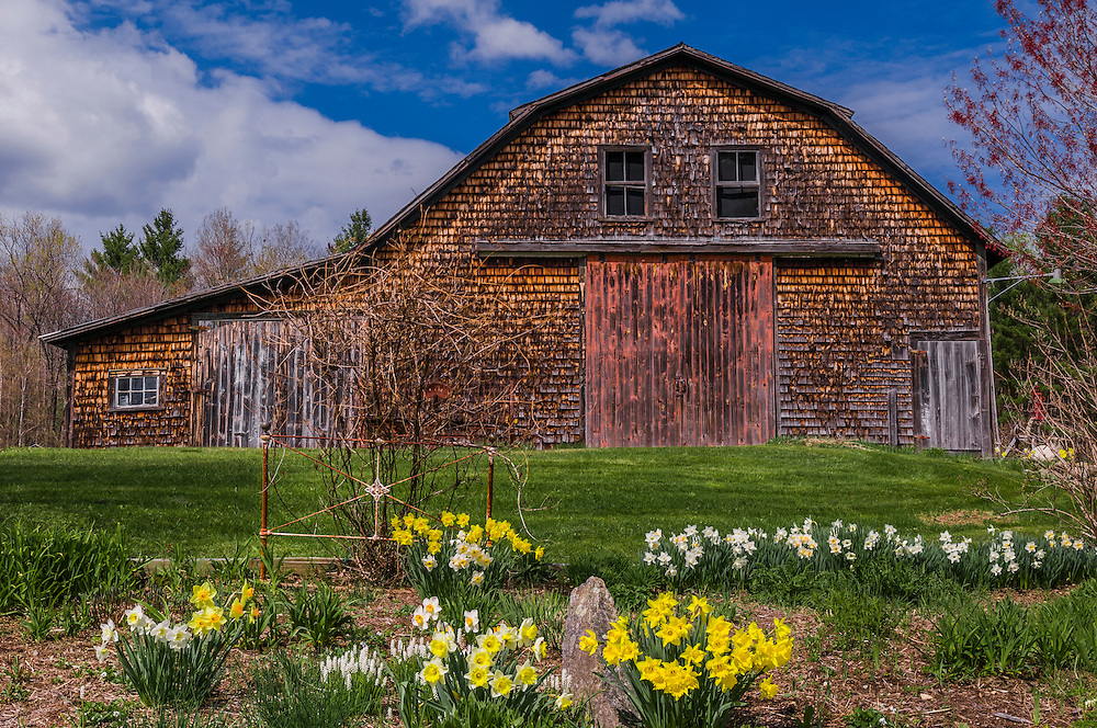 Old weathered woodshingled gambrel barn and Daffodils, Enfield, NH