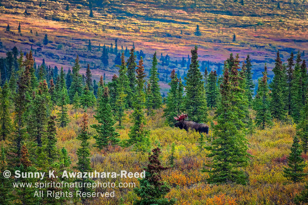 Bull Moose at boreal forest. Fall color tundra hill in the background. Denali National Park & Preserve, Interior Alaska, Autumn.