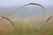 A dew-covered spider web hangs from late summer grass in North Creek Park, Bothell, Washington.