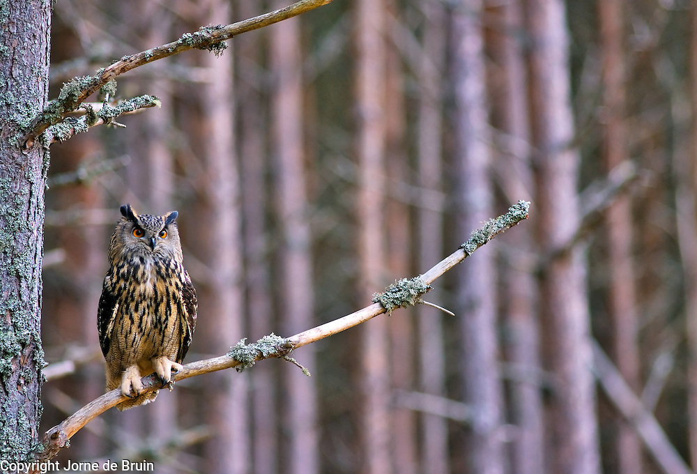 An Eurasian Eagle Owl sits on a branch in the Cairngorms National Park in Scotland