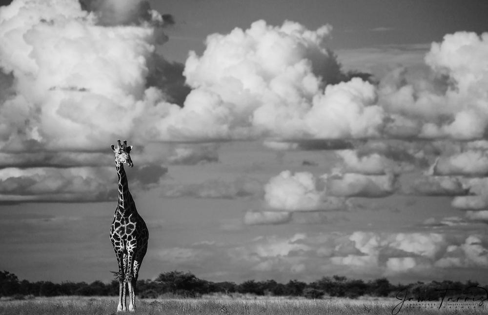 A southern giraffe (giraffa camelopardalis) walking beneath a cloudy Kalahari sky in the wet season,black and white , Kalahari, Botswana, Africa