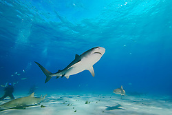 tiger shark, Galeocerdo cuvier, lemon sharks, and scuba divers, West End, Grand Bahama, Bahamas, Caribbean, Atlantic Ocean