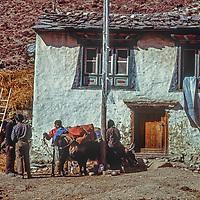 Sherpas load yaks in Pangboche village in the Khumbu region of Nepal's Himalaya.