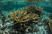 Elkhorn Coral (Acropora palmata)<br /> Hol Chan Marine Reserve<br /> near Ambergris Caye and Caye Caulker<br /> Belize<br /> Central America