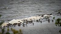 Shorebirds (unknown ID). Biolab Road, Merritt Island National Wildlife Refuge. Image taken with a Nikon Df camera and 300 mm f/4  lens (ISO 720, 300 mm, f/4, 1/1250 sec).