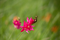 Ixias flowering in the graveyard of Christ Church, Longford, Tasmania.
