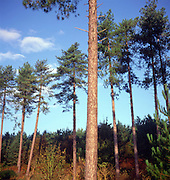 Trunks of coniferous trees against blue sky, Rendlesham forest, Suffolk, England