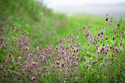 Water avens growing wild in a damp area by a lane in Yorkshire. Geum rivale