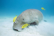 dugong or sea cow, Dugong dugon, Critically Endangered Species, feeding in seagrass bed, accompanied by commensal juvenile golden trevally, Gnathanodon speciosus, Calauit Island, off Busuanga, Calamian Islands, Palawan, Philippines  ( Mindoro Strait, South China Sea, Western Pacific Ocean )