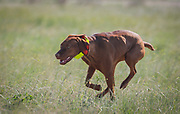 SHOT 5/9/20 8:57:39 AM - Various pointing breeds compete in the Vizsla Club of Colorado Licensed Hunt Test Premium at the Rocky Mountain Sporting Dog Club Grounds in Keenesburg, Co. (Photo by Marc Piscotty / © 2020)