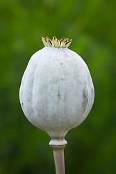 Papaver somniferum 'Big Pod'. Giant opium poppy