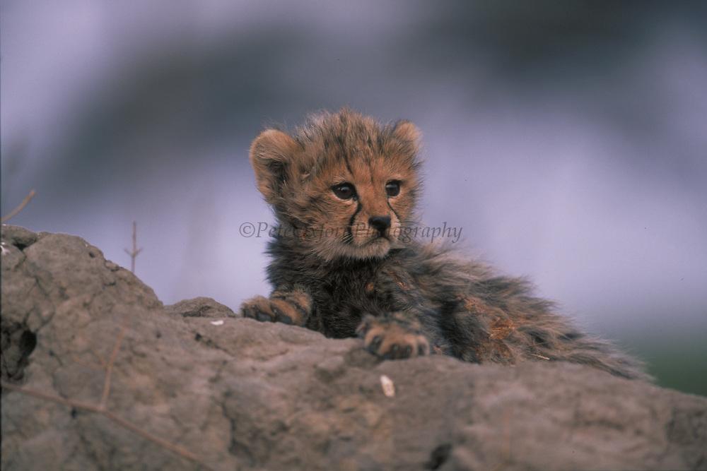 Cheetah Cub<br />Acinonyx jubatus<br />Okavango Delta, BOTSWANA   Africa