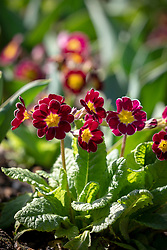 Polyanthus 'Victorian Lilac Lace' F1 growing amongst the emerging foliage of Tulip 'Spring Tide'