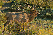 Bull Elk or wapiti ( Cervus canadensis) <br /> Jasper National Park<br />Alberta<br />Canada