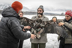 """Steve Lewis, Raptor Management Coordinator, U.S. Fish & Wildlife Service (left) explains how he wants to position a juvenile bald eagle (Haliaeetus leucocephalus) for a photograph that will help determine the age of the bald eagle. Photos of a juvenile bald eagle's molting, particularly in the head and tail feathers, can help determine its age before it reaches maturity due to the sequential molting pattern eagles experience during the first five years of their life. Rachel Wheat, graduate student at the University of California Santa Cruz (second from left), is conducting a bald eagle migration study of eagles that visit the Chilkat River for her doctoral dissertation. She hopes to learn how closely eagles track salmon availability across time and space. The bald eagles are being tracked using solar-powered GPS satellite transmitters (also known as a PTT - platform transmitter terminal) that attach to the backs of the eagles using a lightweight harness. Assisting with the holding of the bald eagle is Dr. Taal Levi, wildlife ecologist, Cary Institute of Ecosystem Studies (center) and Dr. Chris Wilmers, associate professor University of California Santa Cruz (right). The latest tracking location data of this bald eagle known as """"2Z"""" can be found here: http://www.ecologyalaska.com/eagle-tracker/2z/ . During late fall, bald eagles congregate along the Chilkat River to feed on salmon. This gathering of bald eagles in the Alaska Chilkat Bald Eagle Preserve is believed to be one of the largest gatherings of bald eagles in the world."""