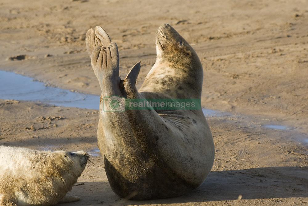 July 21, 2019 - Seals Lying On Beach (Credit Image: © John Short/Design Pics via ZUMA Wire)