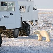 Polar Bear (Ursus maritimus) a bear investigates a buggy with tourists at  Cape Churchill, Manitoba