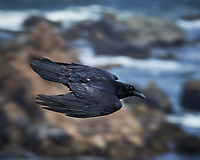 Common Raven in flight. Carmel Beach, Pacific Coast Highway. Image taken with a Nikon D3 camera and 80-400 mm VR lens.