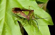 Close up of a hawthorn shieldbug (Acanthosoma haemorrhoidale) resting on a hawthorn leaf in a Norfolk wood