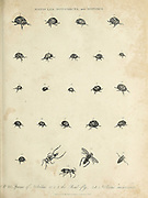 Various beetles, insects and fly species Copperplate engraving From the Encyclopaedia Londinensis or, Universal dictionary of arts, sciences, and literature; Volume XVII;  Edited by Wilkes, John. Published in London in 1820