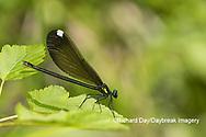 06014-00314 Ebony Jewelwing (Calopteryx maculata) female Washington Co. MO