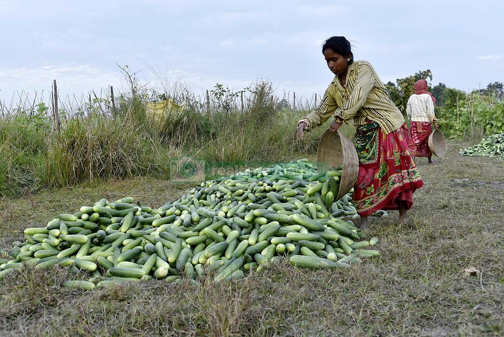 December 17, 2018 - Barpeta, Assam, India - Woman labourer carrying harvested fresh cucumber in a farm to sell in the market  in Barpeta, Assam, India, about  100KM from Guwahati on Sunday, December 16, 2018. (Credit Image: © David Talukdar/NurPhoto via ZUMA Press)