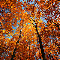 """""""Forest Canopy""""<br /> <br /> Gorgeous golden orange fall foliage looking up to the blue sky above!"""