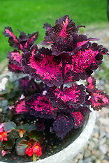 Coleus Royalty Free Stock Images