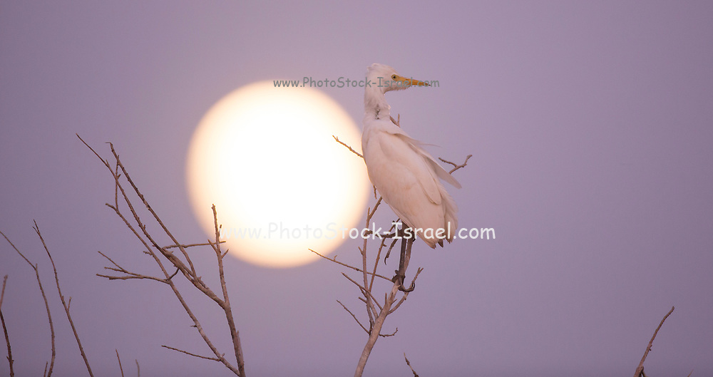 Western cattle egret (Bubulcus ibis) silhouetted with moonlight. Photographed in Israel in August