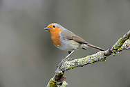 Robin Erithacus rubecula L 13-14cm. Distinctive bird. Garden-dwellers are bold and inquisitive. Sexes are similar. Adult has orange-red face, throat and breast, bordered by blue-grey on sides but with sharp demarcation from white belly. Upperparts are buffish brown with faint buff wingbar. Juvenile has brown upperparts, marked with buff spots and teardrop-shaped streaks; pale buff underparts have darker spots and crescent-shaped markings. Voice Song is plaintive and melancholy. Alarm call is a sharp tic. Status Widespread resident, commonest in S. Observation tips Easiest to find in gardens and parks.