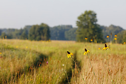 Great coneflowers and two-track road through Blackland Prairie, Mary Talbot Prairie, owned by Native Prairies Association fo Texas (NPAT), Texarkana, Texas, Farmersville, Texas, USA.