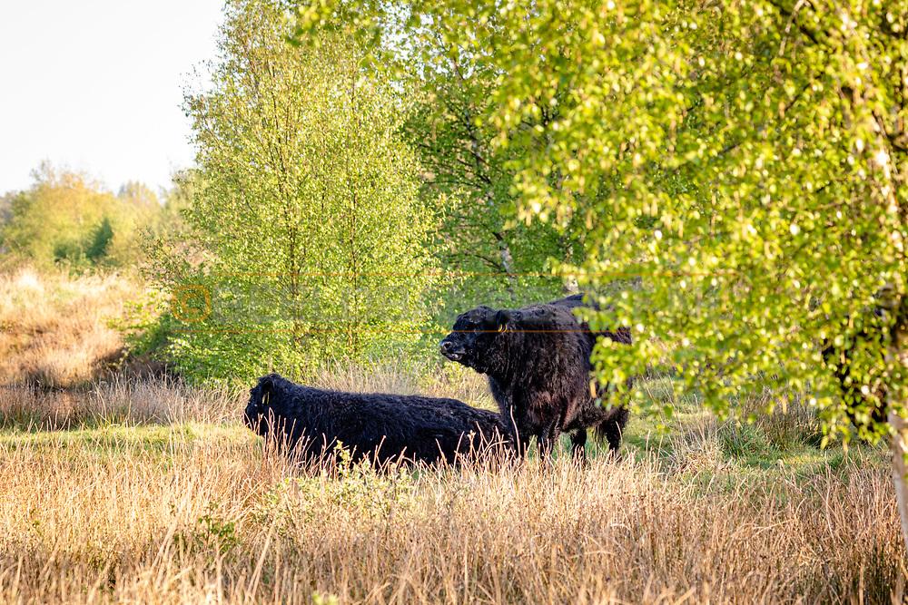 26-04-2020: Nijeberkoop, Ooststellingwerf - Galloway runderen bij natuurgebied De Diakonievene