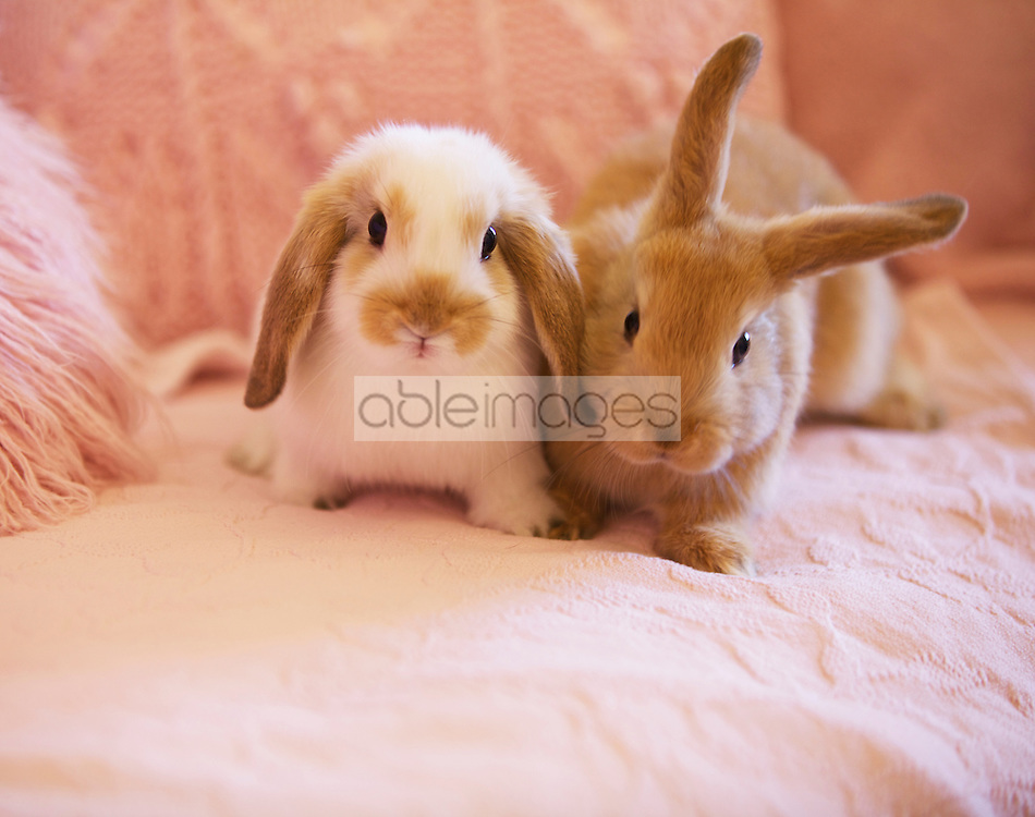 Two Rabbits on Pink Sofa