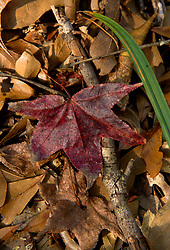 Stock photo of the detail of a fallen red leaf indicating the changing of the seasons