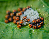 Stinkbug Hatchlings.Image taken with a Fuji X-T3 camera and 80 mm f/2.8 OIS macro lens (ISO 320, 80 mm, f/3.6, 1/240 sec).