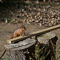 Red Squirrel,wood