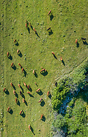 Aerial view of herd of cattle in a pasture at Karditsa region, Greece