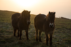 © Licensed to London News Pictures. 23/01/2016.  Horses grazing on the White Cliffs of Dover. Sunrise at Dover in Kent seen from the famous White Cliffs. Weather forecasters have predicted a return to mild weather. Credit : Rob Powell/LNP