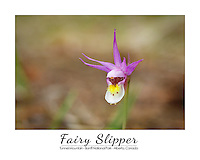 Andrew discovered these beautiful and delicate wild orchids while on a walk in the woods at Tunnel Mountain campground. They only live in the shaded areas of the woods but where they appear they are all over the place.<br /> <br /> ©2014, Sean Phillips<br /> http://www.RiverwoodPhotography.com